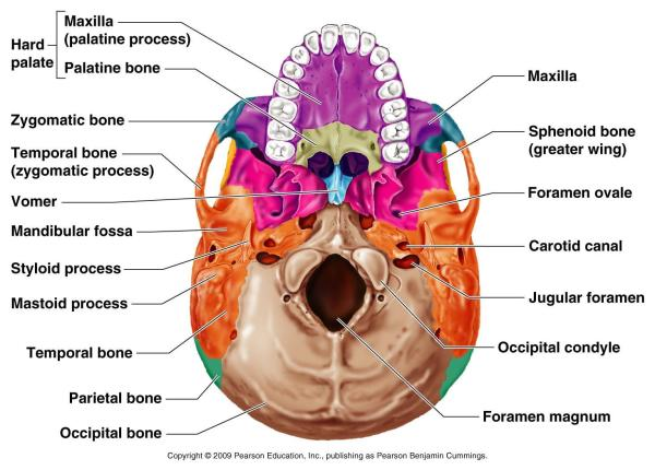 infertility and sphenoid | healing by yang, Human Body